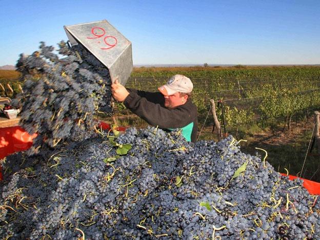 A pesar de las continuas lluvias, los viñedos logran resistir la humedad
